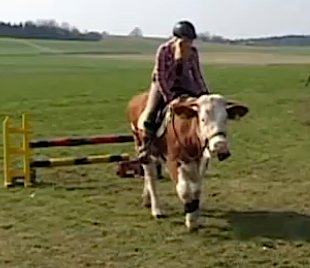 cow showjumper from Telegraph video