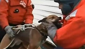 dog rescue 3 wks post-tsunami in Japan (ITN video)