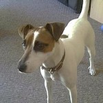 photo of Jack Russell Terrier by Alan D via flick