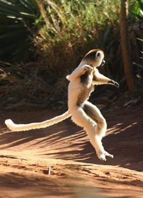 lemur in Madagascar by Neil Strickland -CC license