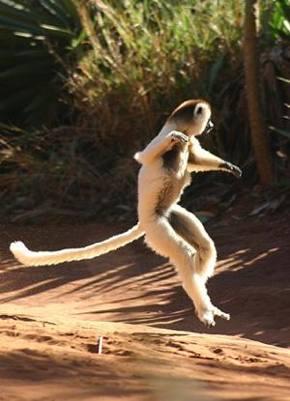 lemur in Madagascar by Neil Strickland -CC license