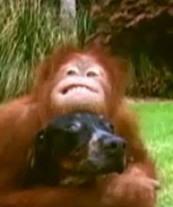 orangutan and hound - National Geographic video still