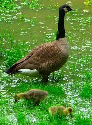 Mother goose and 2 goslings