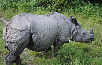 rhinoceros-One-horned-Nepal-Wikimedia-Commons