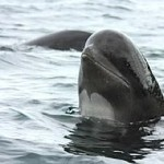 pilot whale photo by Barney Moss - CC