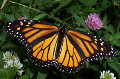Monarch photo by HaarFager - CC license