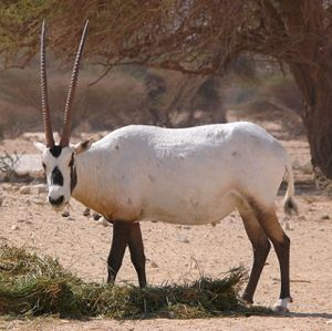 Arabian Oryx in Israel, photo by MathKnight, via wikipedia -CC