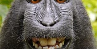 crested-black-Macaque-David-slater-self-portrait