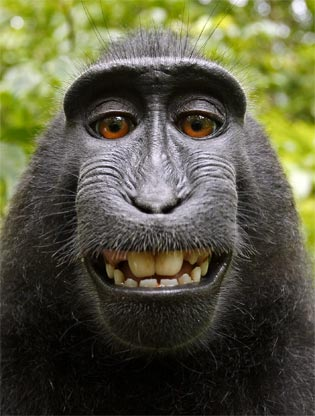Self-portrait by Crested Black Macaque, courtesy of David Slater