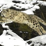 Snow leopard - WCS photo