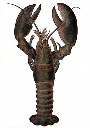 lobster-uncooked