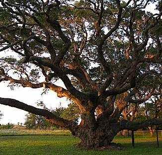 Wikimedia Commons - Oak tree