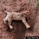 LION CUB RESCUE via Sax Rohmer Ltd