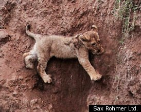 LION CUB RESCUE via Sax Rohmer Ltd