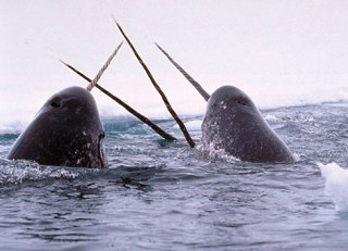 narwhals joust