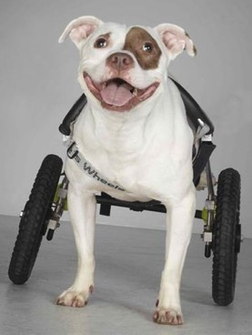 wheelchair-dog-Richard-Allen-Schlossberg