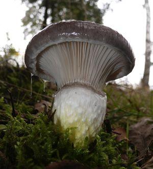 Mushroom Gomphidius glutinosus - Wikimedia Commons