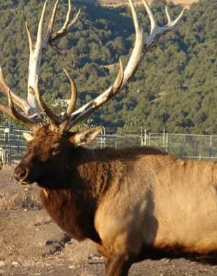 elk in Idaho zoo