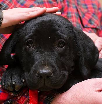 black lab photo by Phil Romans Flickr-CC