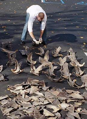 NOAA agent counts confiscated shark fins