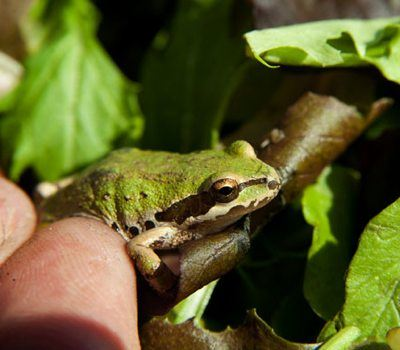 tree frog in salad - photo by SGV Tribune