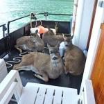 Deer on Boat by Tom Sarte