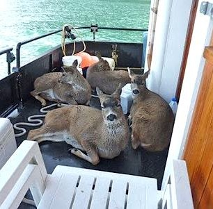 Deer on Boat by Tom Sarte