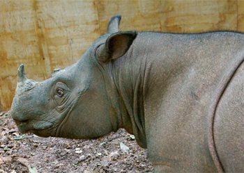 Sumatra rhino, Puntung, by Borneo Rhino Alliance