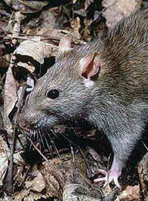 brown rat - Natl Park Service photo