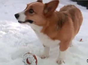 Corgi digs out of avalanche