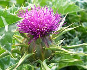 Milk thistle flower is good for liver health - GNU