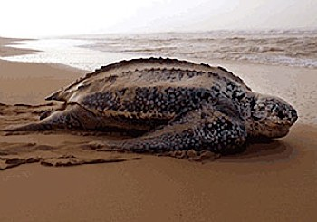 Leatherback in sunset