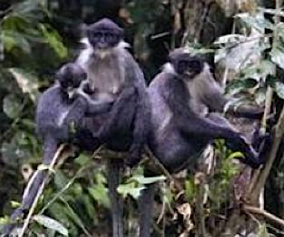 Monkey Grizzled Langur rediscovered