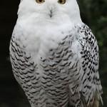 Snowy Owl by Pe ha45-Flickr-CC