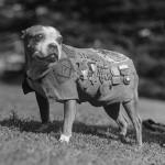 WWI pitbull, Sgt Stubby Wikimedia photo