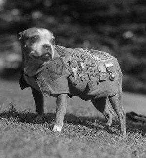 WWI pitbull, Sgt Stubby Wikimedia photo