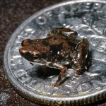 frog discovered is smallest in world-PLoS