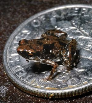 frog discovered is smallest in world - PLoS photo