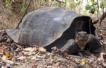 galapogos tortoise descended from parents thought to be extinct