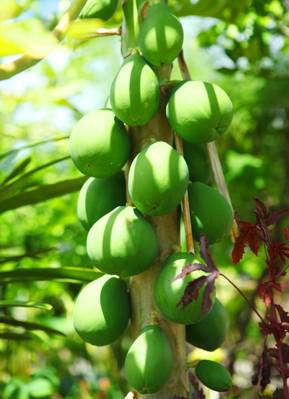 papayas photo by Sun Star