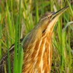 American Bittern - Cornell Ornithology lab photo