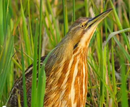 American Bittern - Cornell Ornithology lab photo