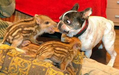 Bulldog and piglets - German sanctuary photo