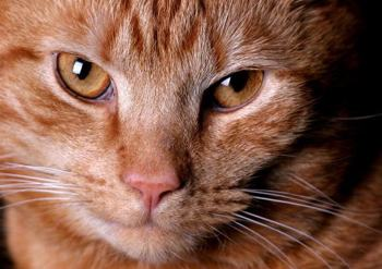 Photo of ginger cat by Hotblack via Morguefile
