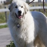 Great Pyrenees dog, photo by Mike Baird via Flickr - cc