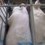 pigs in pens - Humane Society