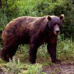 Brown bear in wild