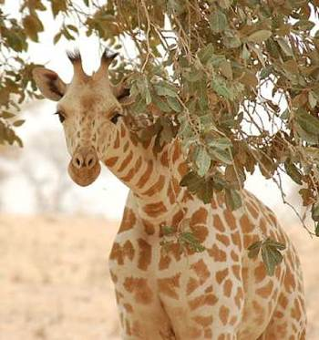 rare species of giraffe in Niger - Roland H's Flickr photo -CC