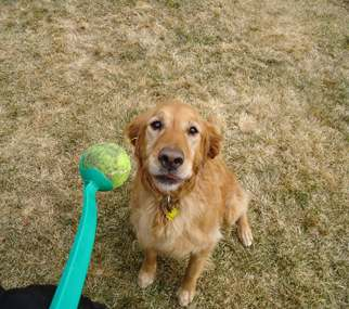 Golden Retriever Shakira with tennis-ball - photo via Dr. Marty Becker