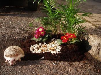 Hedgehog enjoys pothole garden - by Pothole Gardener